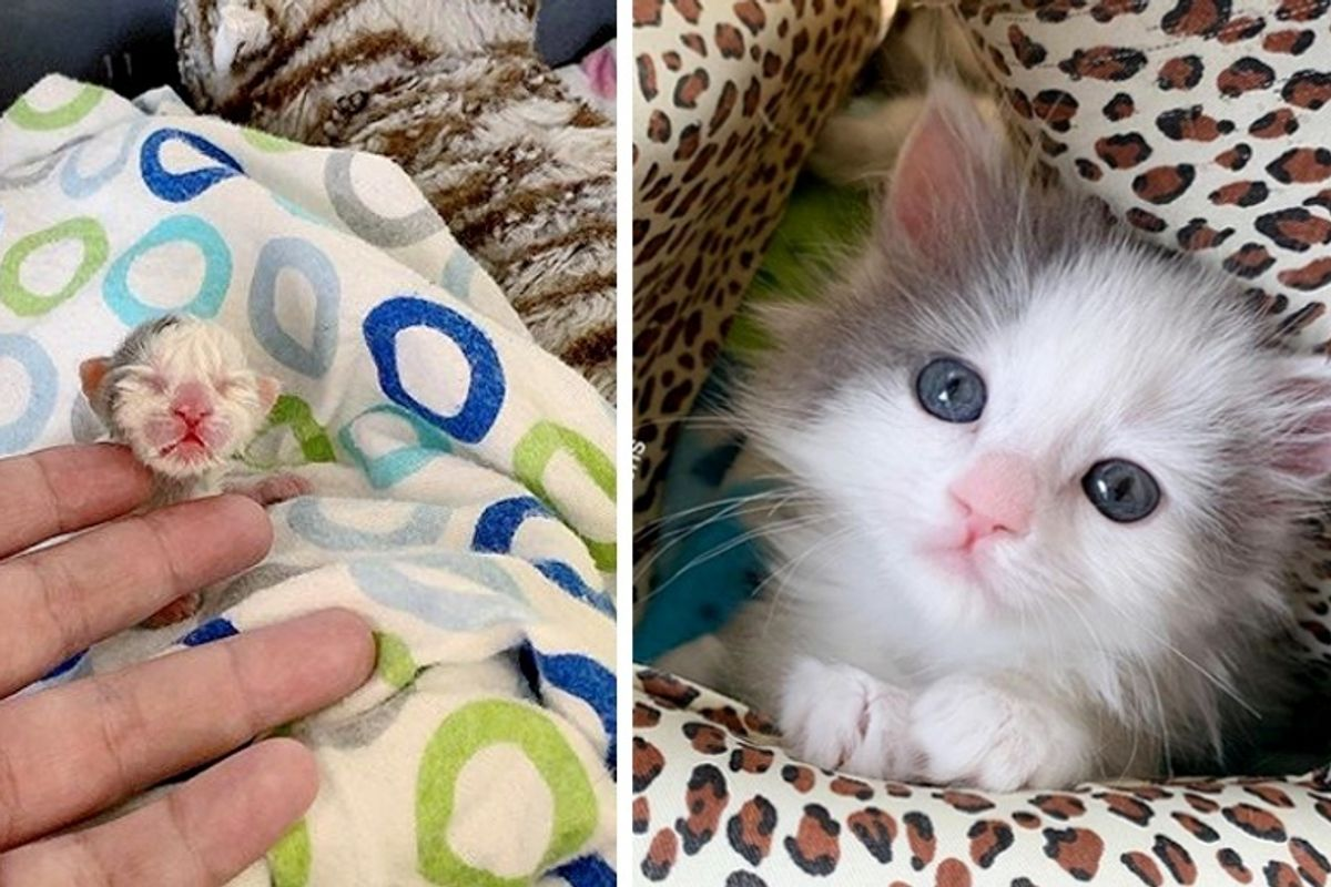 Pint-sized Kitten Found in a Yard Shows Fighting Spirit and is Determined to Thrive