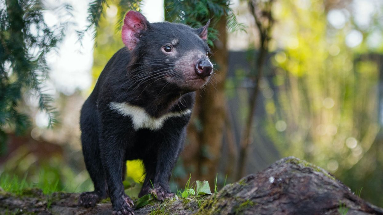 Tasmanian Devils Are Reintroduced to Australia's Mainland for First Time in 3,000 Years
