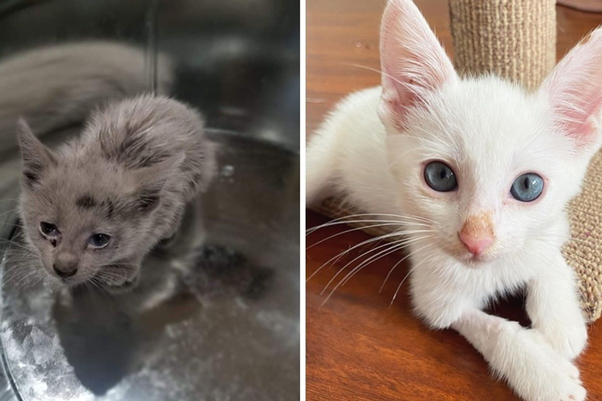 Stray Kitten Found Covered in Oil Reveals His Beautiful Coat and Has His Life Turned Around