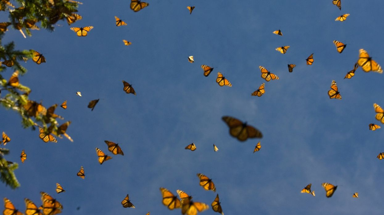 Monarch Butterflies' Spectacular Migration Is at Risk – An Ambitious Plan Aims to Save It