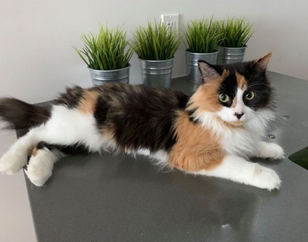 calico, cat, kitten, beautiful