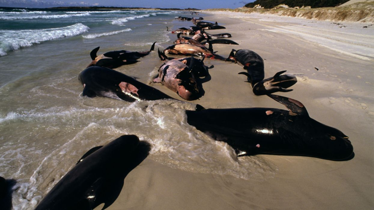 At Least 380 Whales Die in Australia's Largest Mass Stranding