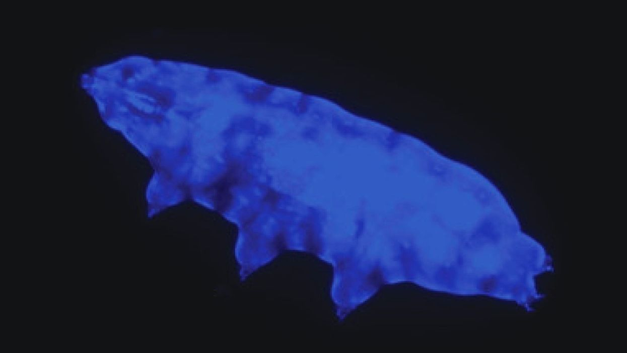 New tardigrade species withstands lethal UV radiation thanks to fluorescent  shield