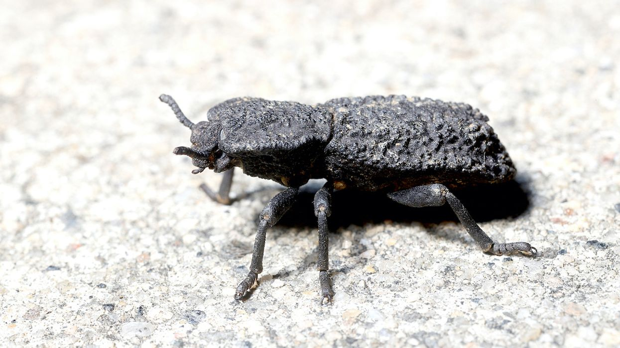 This Beetle Can Survive Being Run Over by a Car. Could It Lead to Crash-Proof Human Designs?