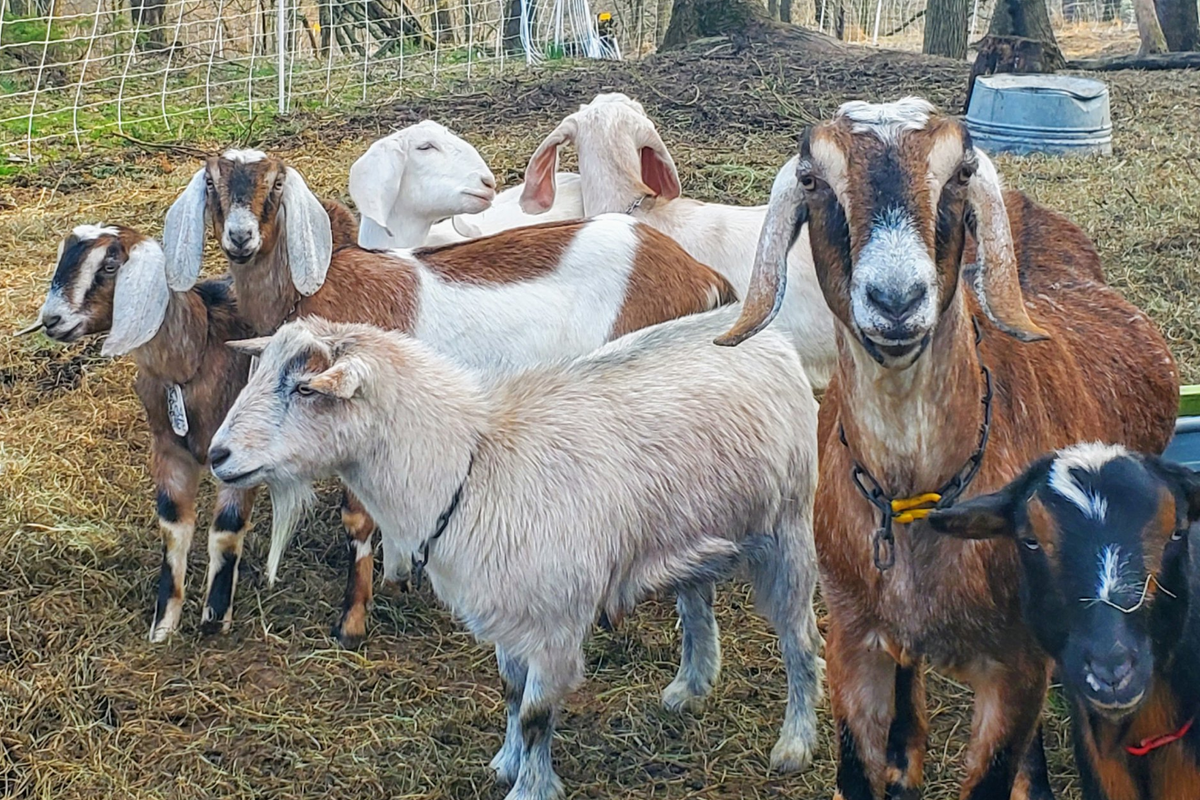 How Goats And The Volunteers Who Love Them Are Saving A Popular Park