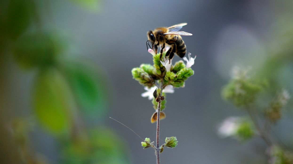 European Top Court Upholds French Ban on Bee-Harming Pesticides