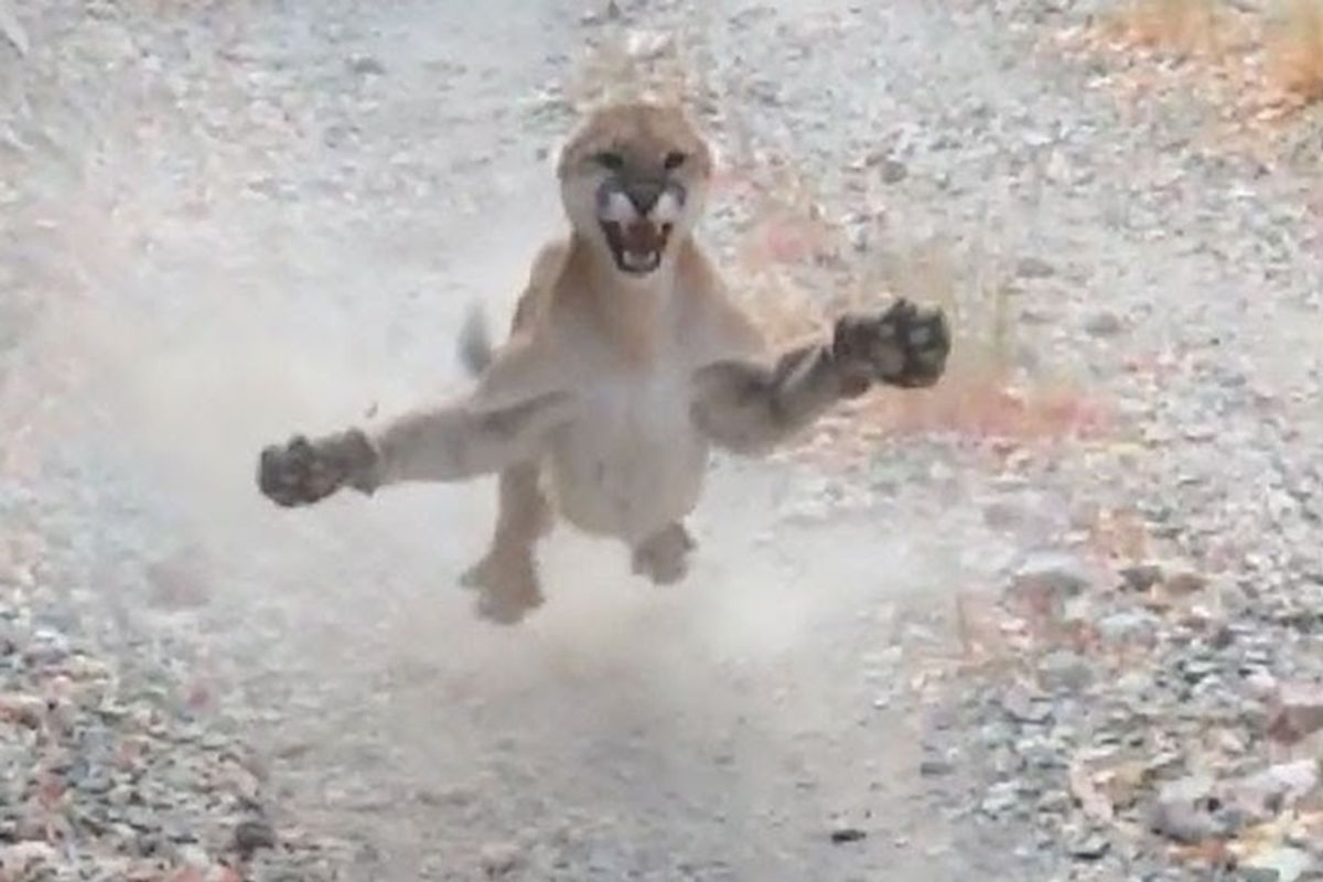 Hiker shares viral video of a territorial cougar mom following him for 6 unforgettable minutes