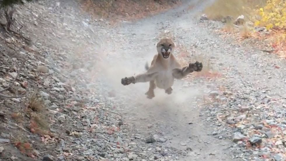 Cougar Follows Jogger for Nearly Six Minutes in Harrowing Video