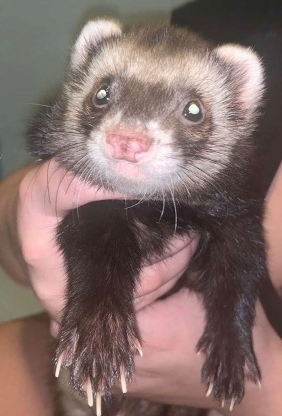 Meet My Ferret: Toby, Who Lives In  Florida