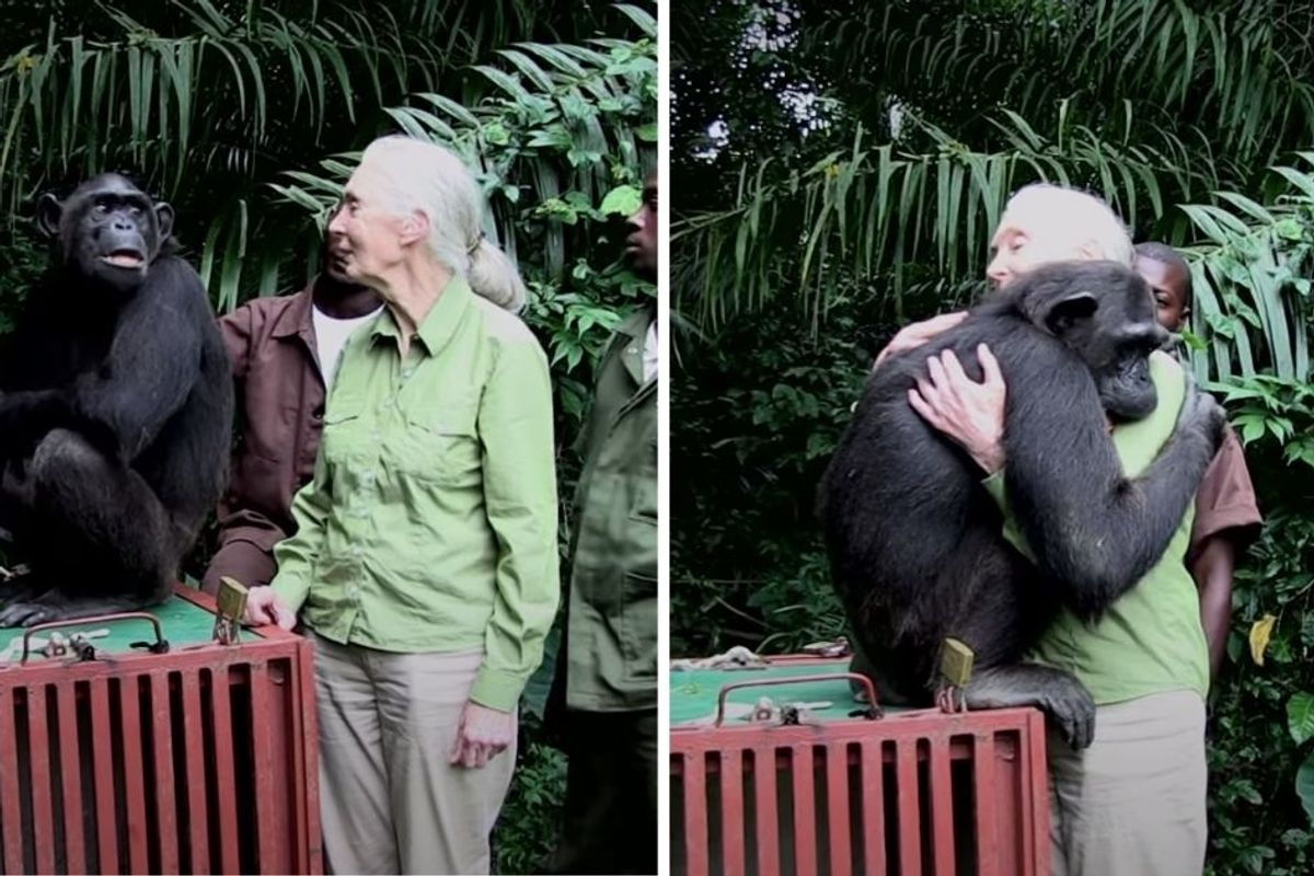 A rescued chimp unexpectedly embraced Jane Goodall upon her release, and oof, cue the tears