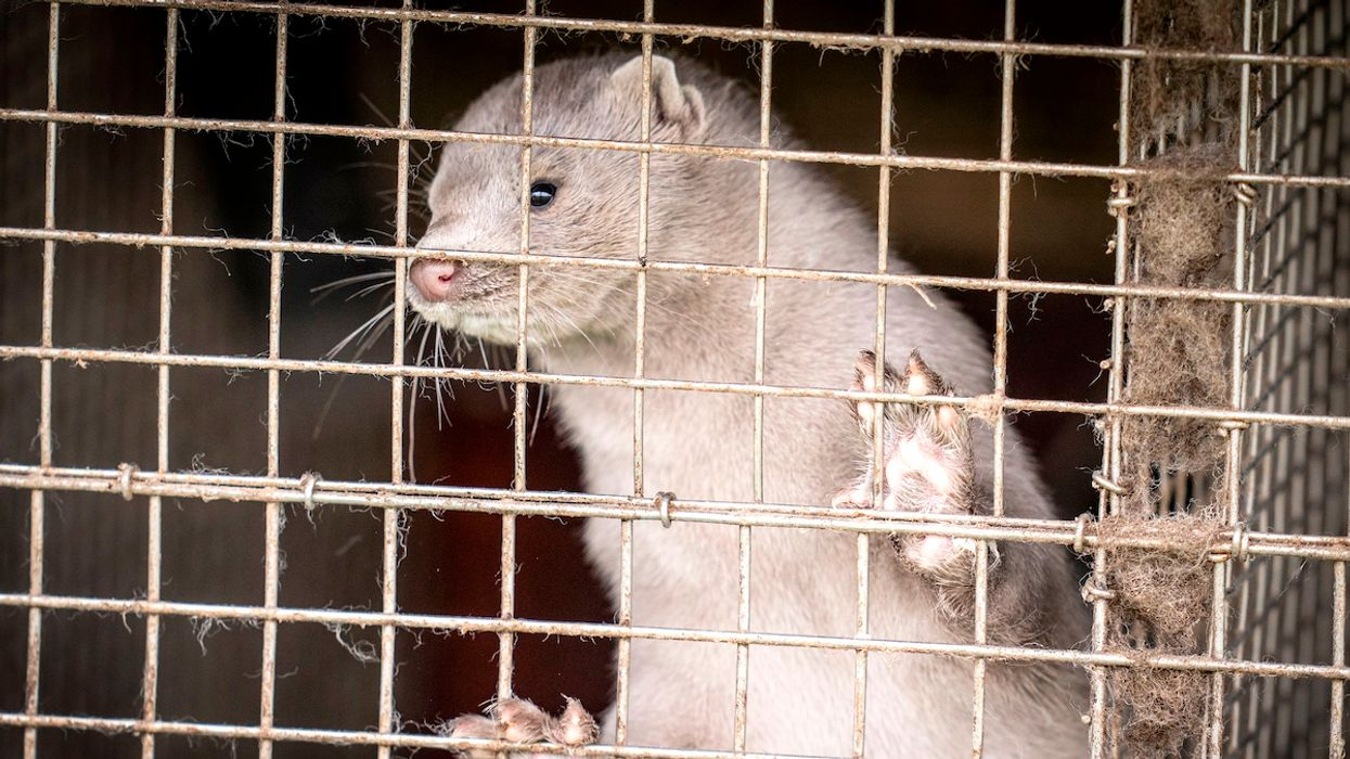 Denmark To Kill up To 17 Million Farmed Mink To Stop Coronavirus Mutation