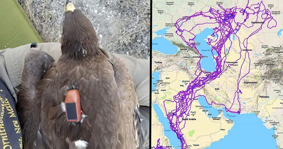 Map Shows All the Places Eagles Visit in a Year and People Are Guessing Why They Avoided the Sea