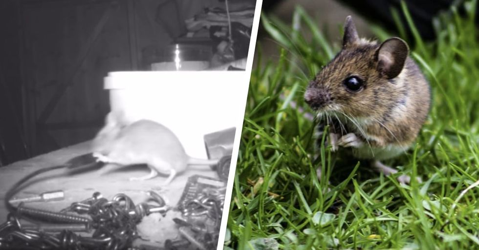 Mouse Caught Cleaning up Old Man's Garden Shed Every Night on Camera