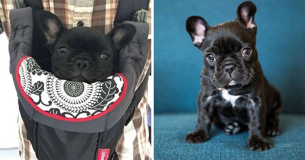 Photographer Takes Hilarious Newborn Photos of Baby French Bulldog