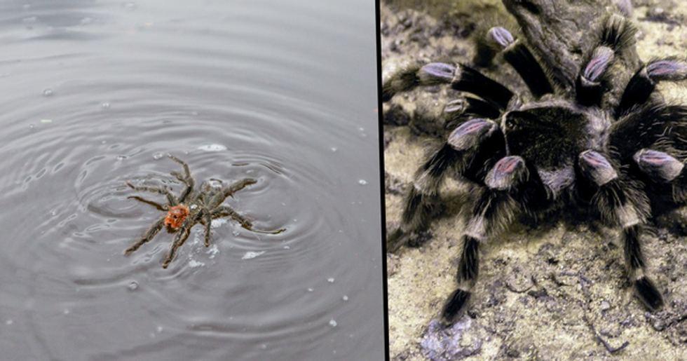 Texas Now Has Swimming Tarantulas That Are Here to Completely Ruin Your Life