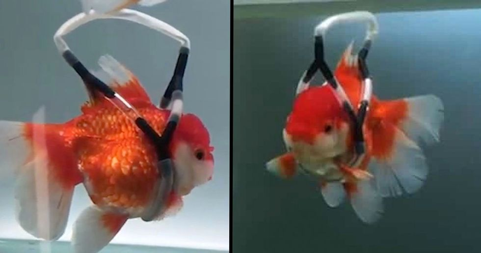 Man Builds Disabled Goldfish 'Wheelchair' to Stop Him Swiming Upside Down