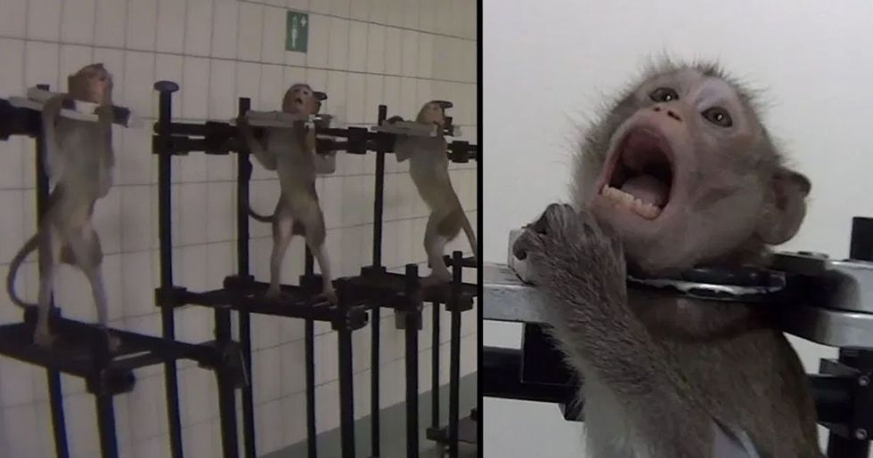 German Lab Where Monkeys Were Filmed Screaming in Pain During Tests Raided
