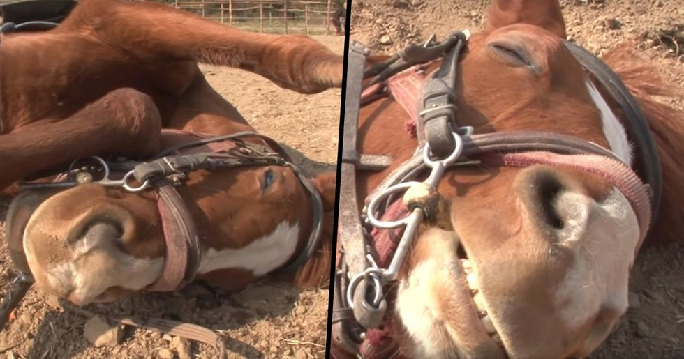 Lazy Horse Plays Dead When People Try to Ride Him
