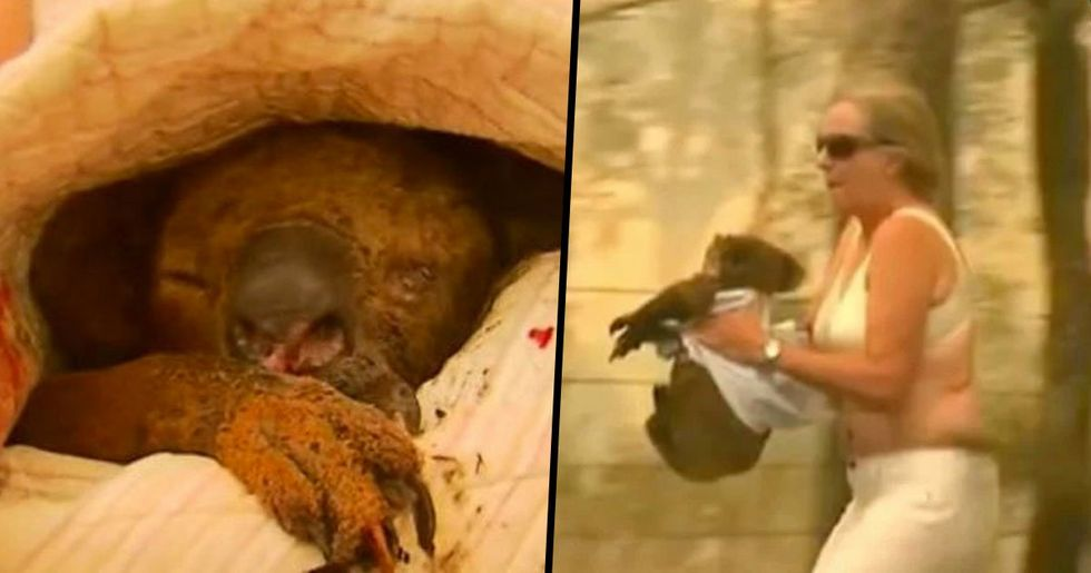 Lewis the Koala Rescued From Australian Bushfire Has Sadly Died