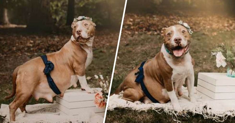 Rescue Pitbull Is Glowing in Her Own Maternity Shoot