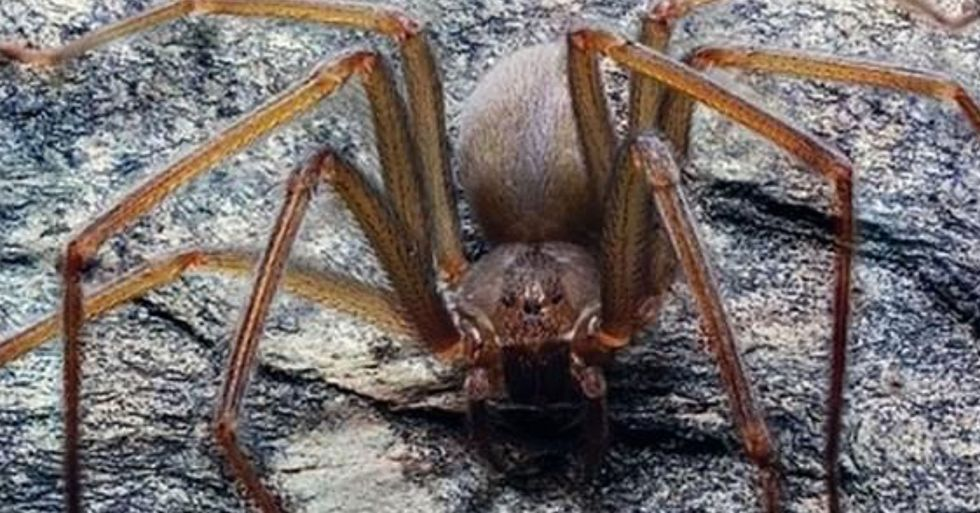 New Species of Spider Discovered That Rots Human Flesh
