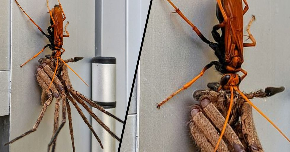 Huge Hawk Wasp Carries off Huntsman Spider for a Feast in Australia