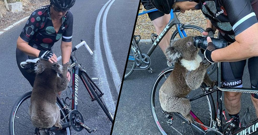 Koala Flags Down Cyclist and Sips Water From Her Bottle as Temperatures Soar in Australia