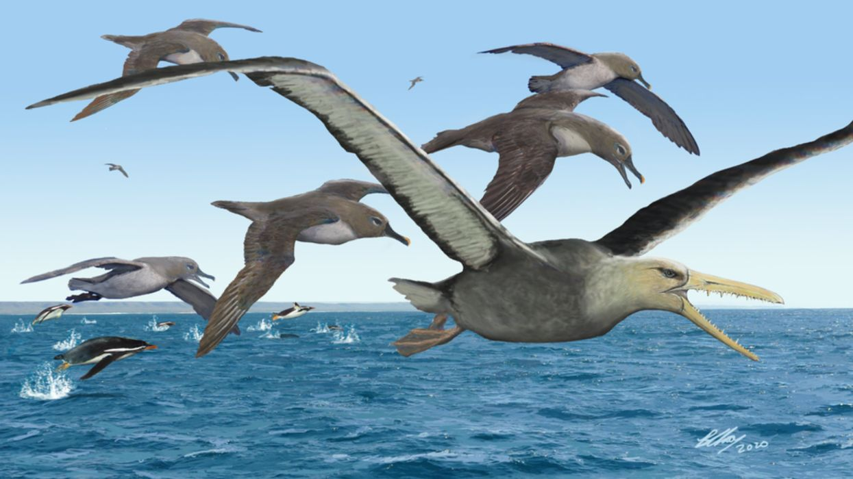 Giant 'Toothed' Birds Flew Over Antarctica 40 Million Years Ago