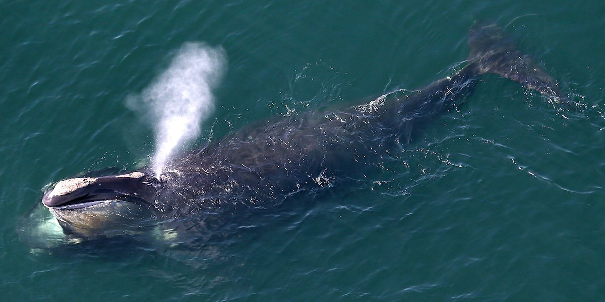 Only 366 Endangered Right Whales Are Alive: New NOAA Report