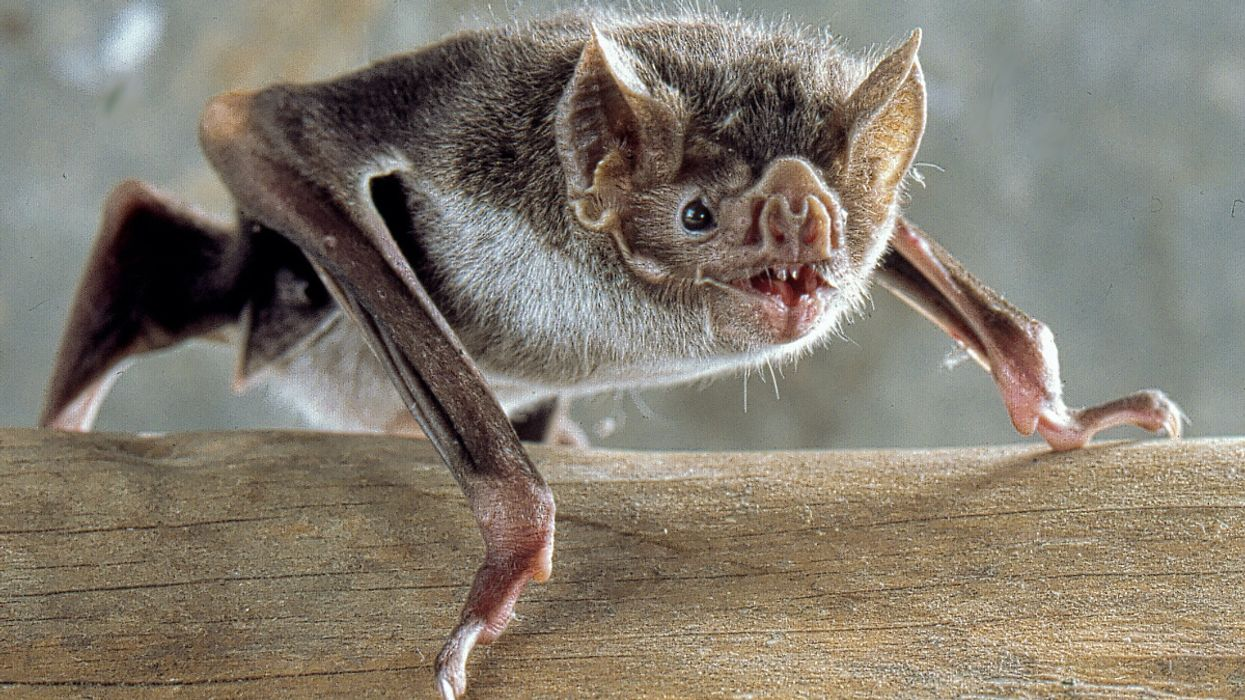 Vampire Bats Socially Distance When They Feel Sick