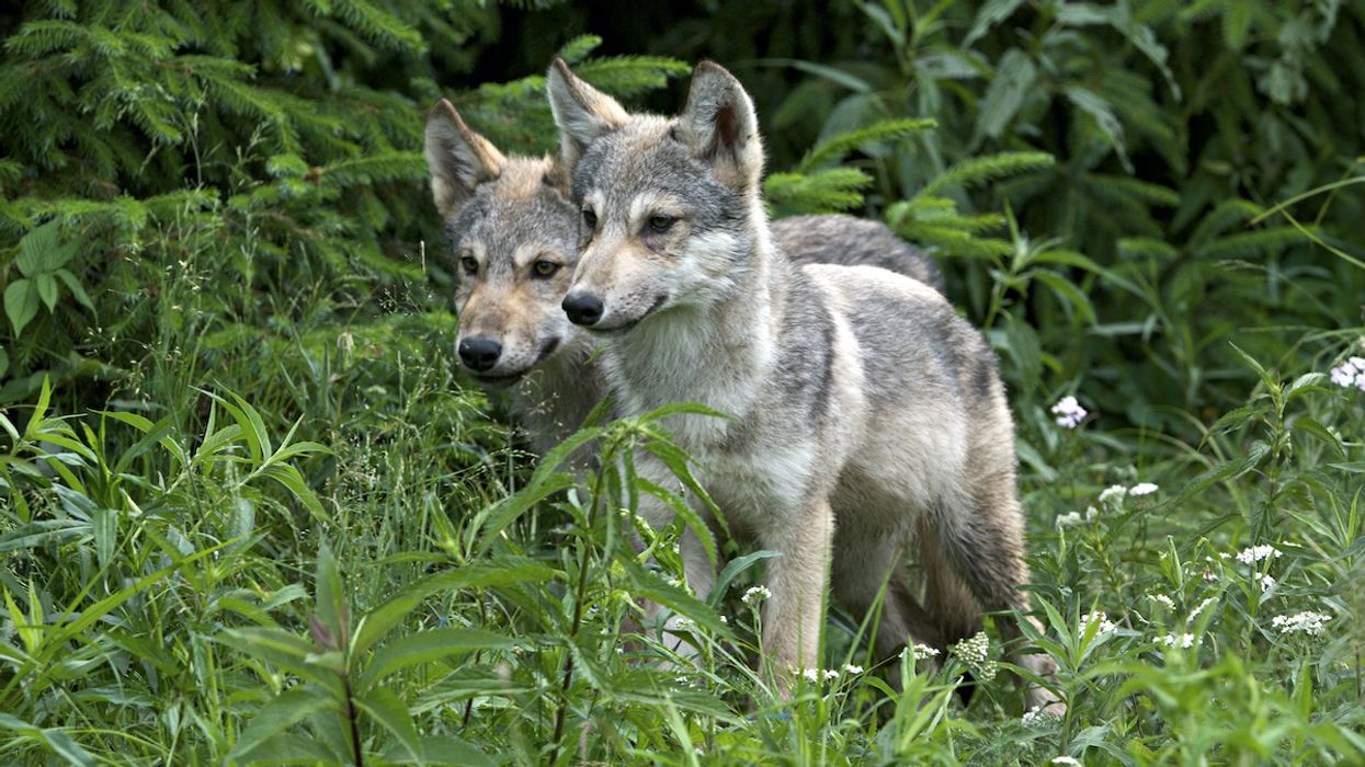 Trump Administration To Remove Endangered Species Protections for Gray Wolves