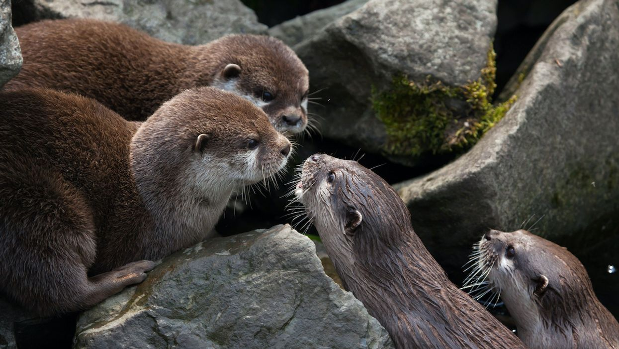 Otters Can Learn From Each Other and This Might Help Them Survive, Study Finds