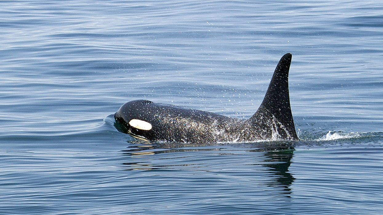 Navy Training Could Harm Endangered Southern Resident Killer Whales