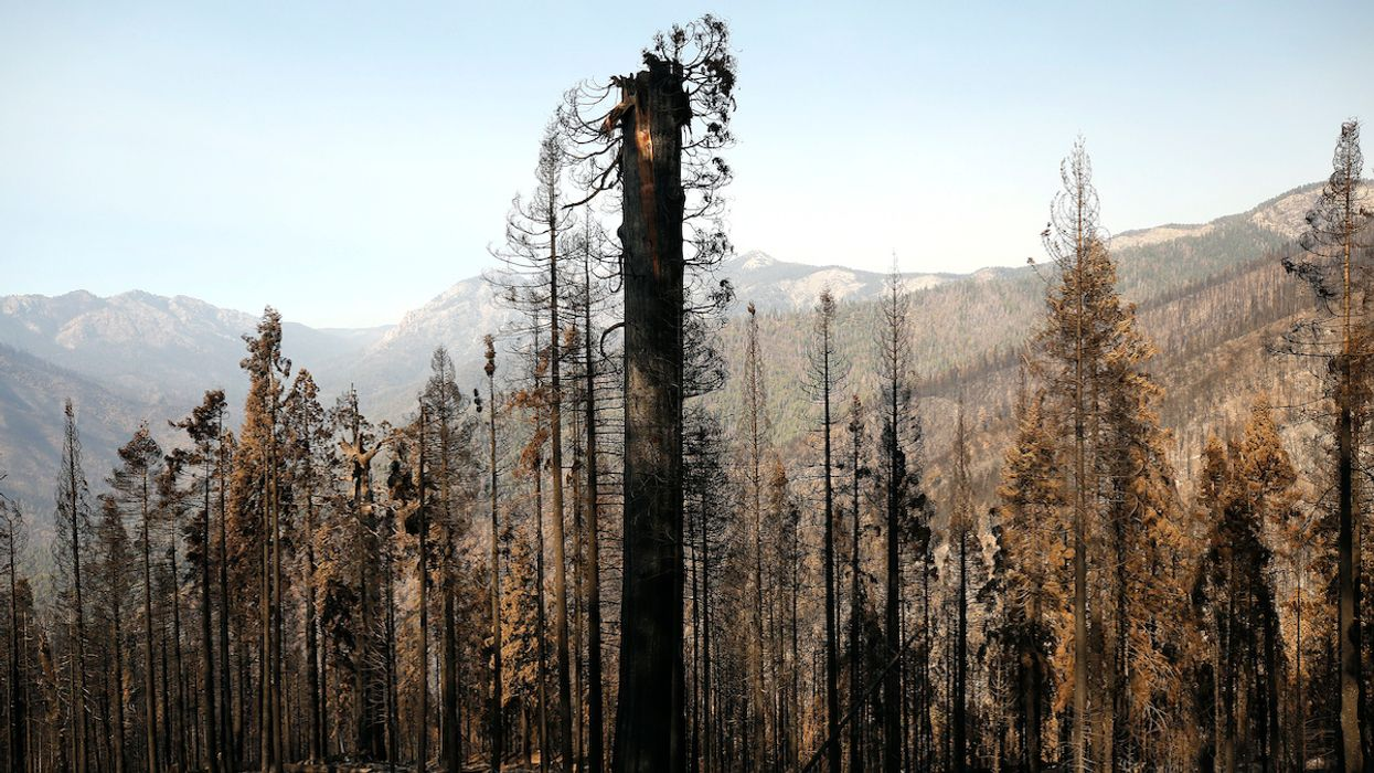 1,000 Giant Sequoias Likely Killed in Castle Fire, Many Had Lived for Over 500 Years