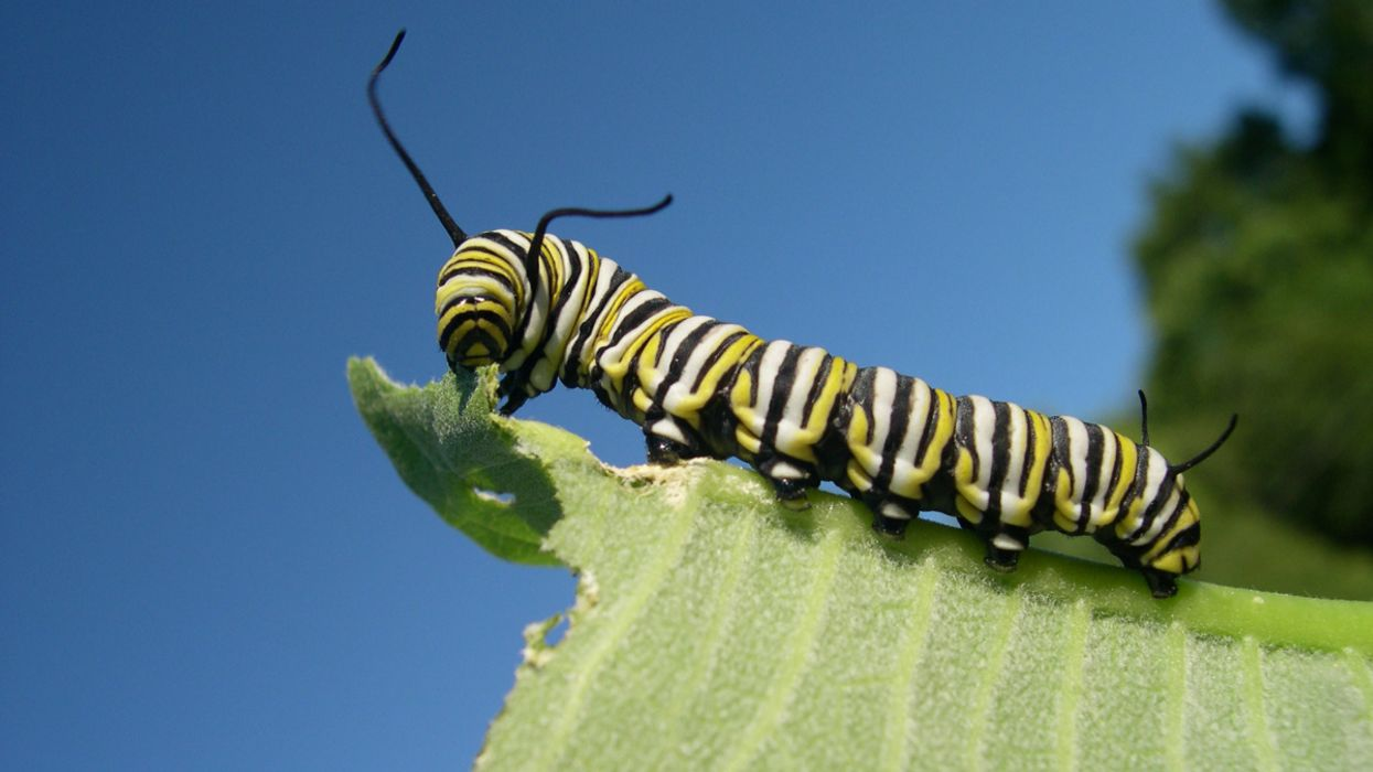 Study: Monarch Caterpillars Get Angry When They're Hungry