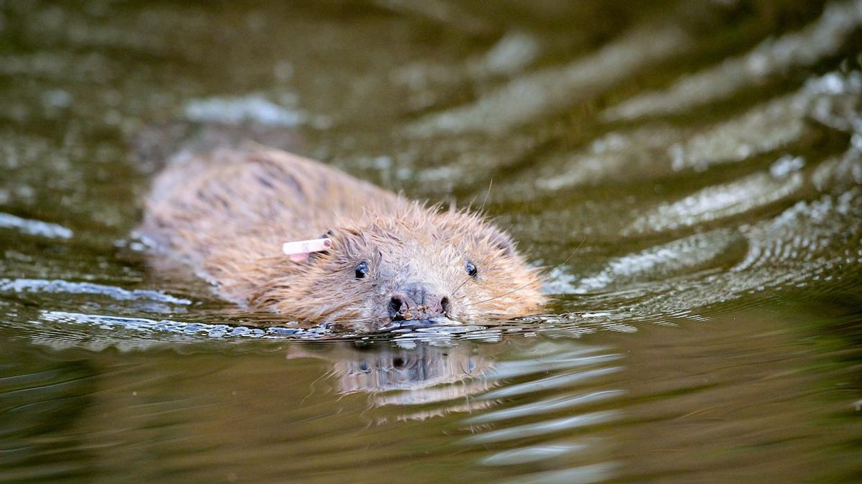 Beavers Build First Dam in England's Somerset in More Than 400 Years