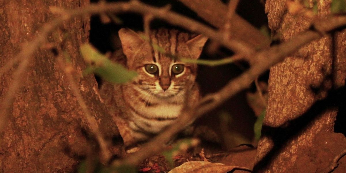 Three Rare Cat Species in Southeast Asia May Go Extinct Unless Better Protected
