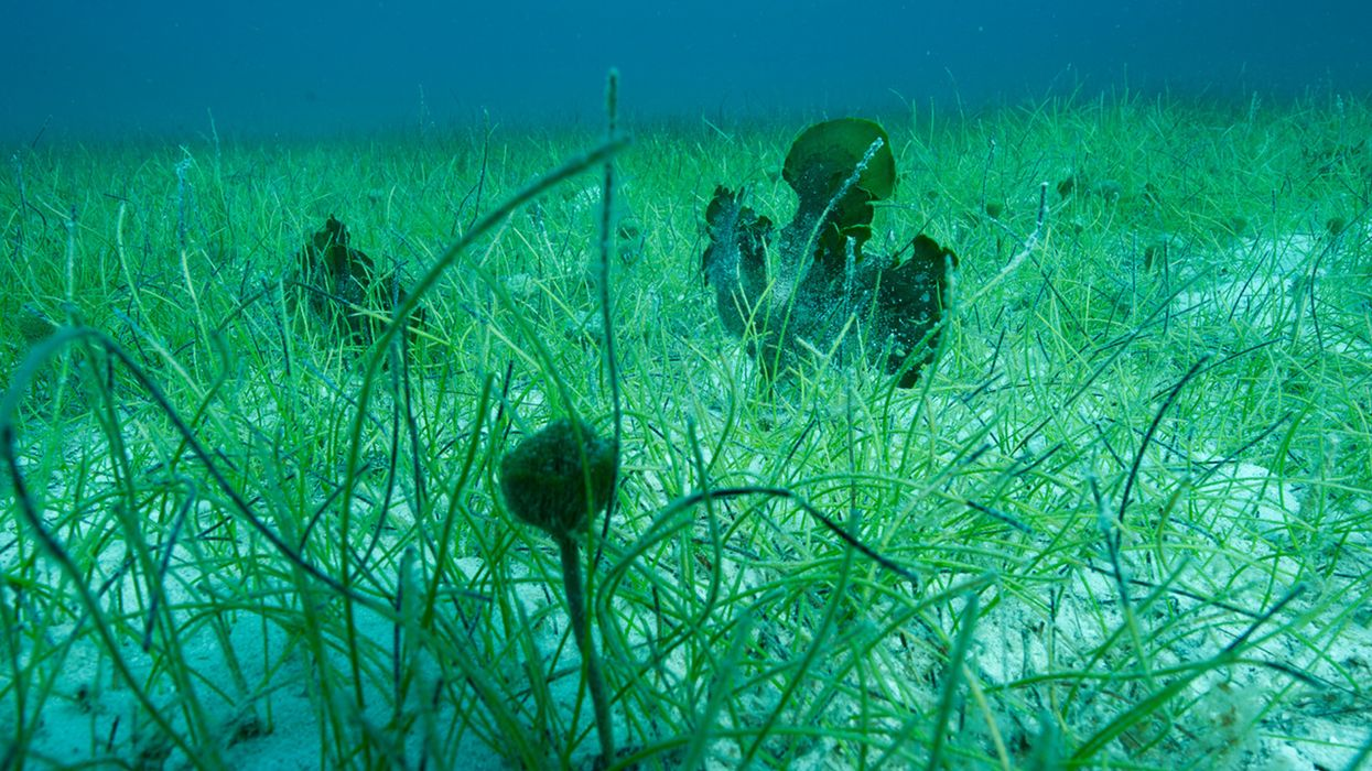 Seagrass: Another Vital Carbon-Sequestering Ecosystem Threatened by Climate Change