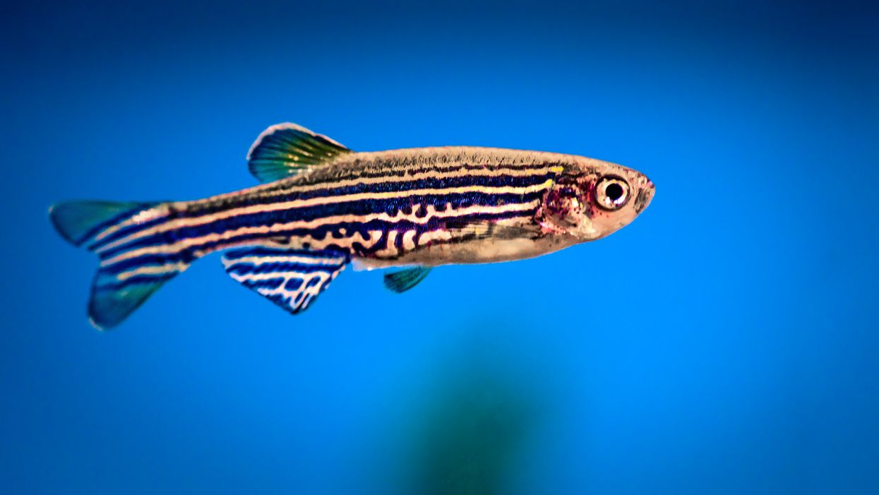 Zebrafish give new insight to sound sensitivity in autism