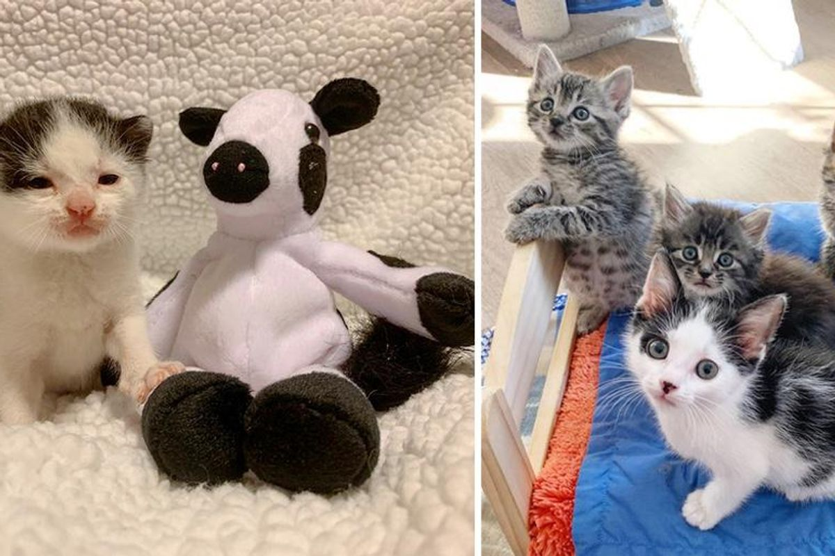 Kitten Found Alone Outside, Takes His Cow Toy Everywhere He Goes, Now Finds Company of Other Cats