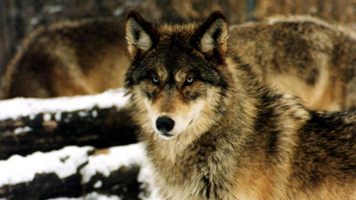 Gray Wolf Recovery and Survival Require Immediate Action By the Biden Administration