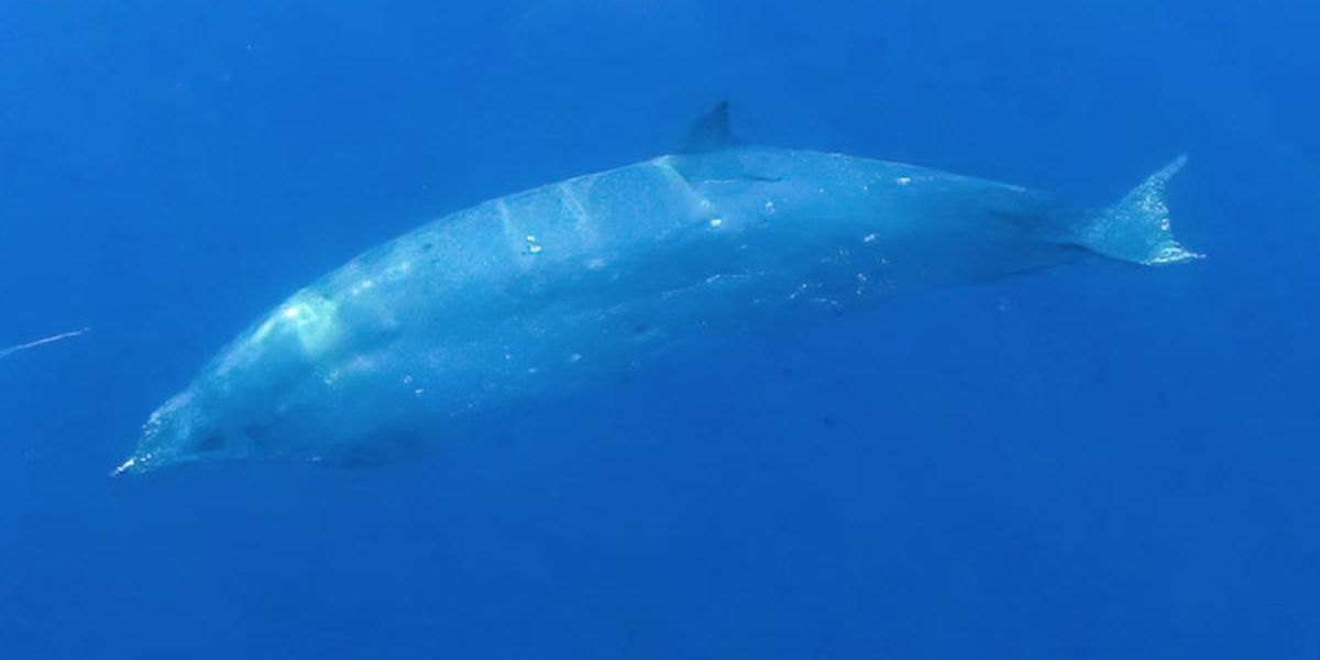 Scientists Spot Beaked Whale Believed to Be New Species