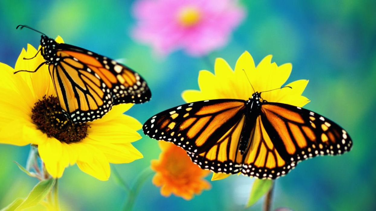 Trump Admin Delays Protecting Threatened Monarch Butterflies Until 2023