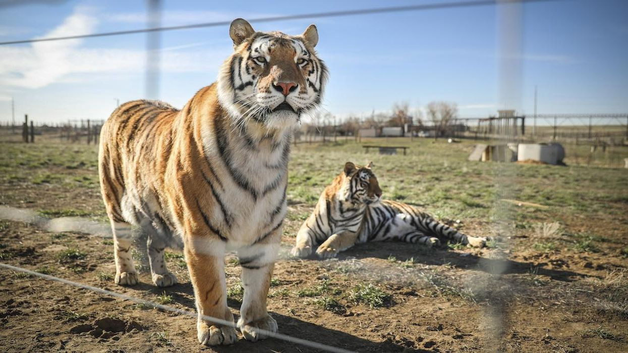 House Passes Big Cat Public Safety Act to Prevent the Next 'Tiger King'