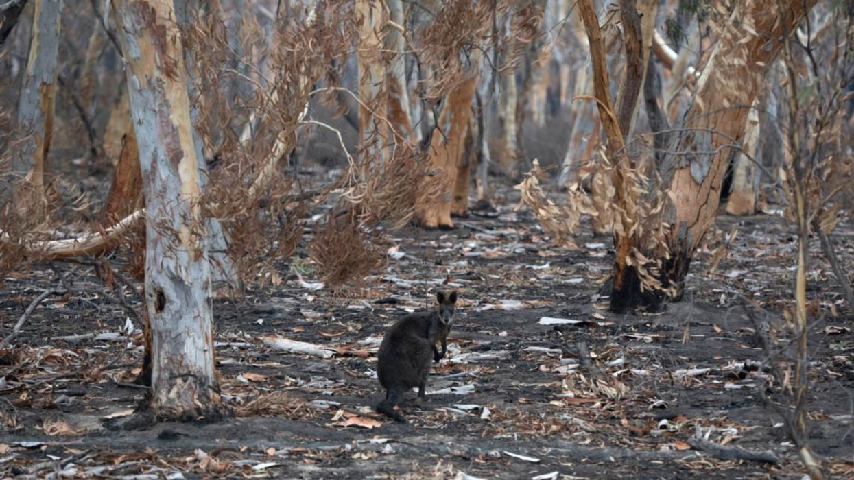143 Million Mammals Lost in Australia Wildfires, New Report Finds