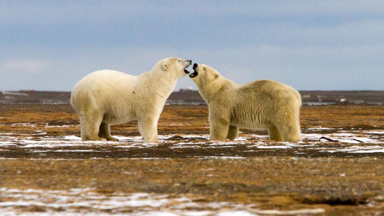 Court Rejects Trump's Arctic Drilling Proposal in 'Huge Victory for Polar Bears and Our Climate'