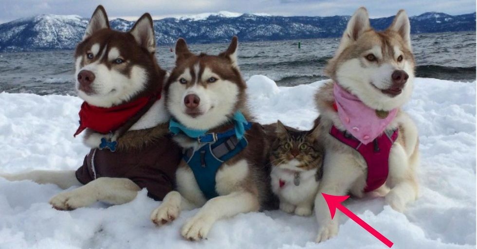After Being Rescued and Raised By Huskies, This Cat Totally Thinks She's a Dog