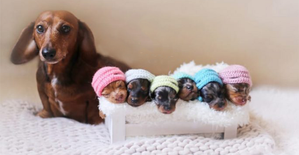 This Maternity and Wedding Photoshoot For Weiner Dogs Is Beyond Cute