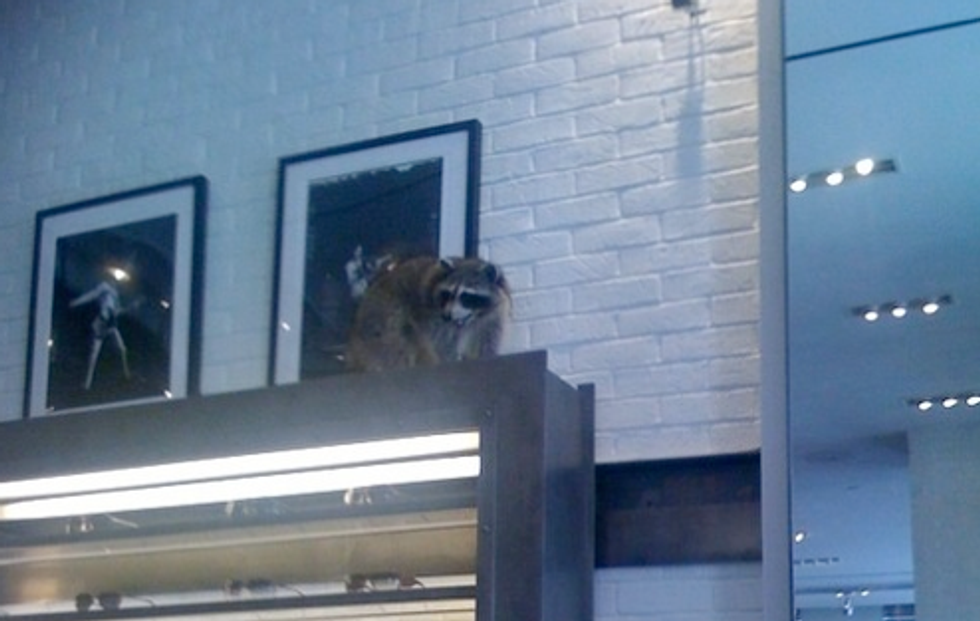 Eight Items or Less: Raccoons at John Varvatos and Fruit Flies at Marquee