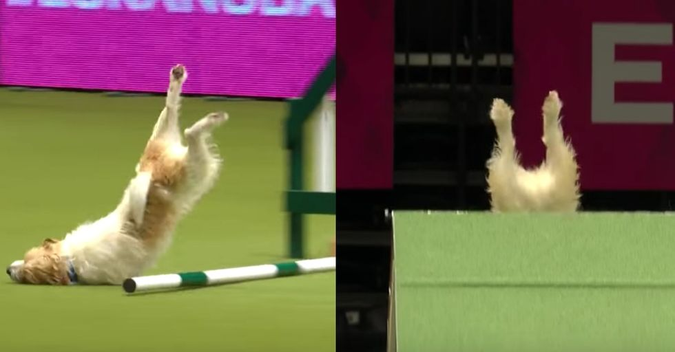 Olly the Jack Russell's Hilariously Bad Run Wins the Heart of the Internet